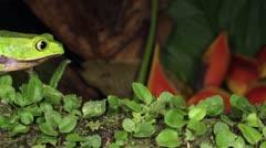 White-lined Monkey Frog (Phyllomedusa vaillanti) Stock Footage