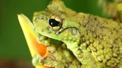 Canelos Treefrog (Ecnomiohyla tuberculosa) Stock Footage