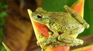 Stock Video Footage of Canelos Treefrog (Ecnomiohyla tuberculosa)