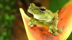 Canelos Treefrog (Ecnomiohyla tuberculosa) - stock footage