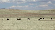 Stock Video Footage of Wild bison buffalo on open plain grazing P HD 9795