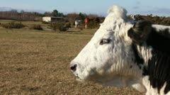Profile of a cow close up Stock Footage