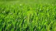Green barley in the breeze Stock Footage