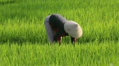 Rice harvest Vietnam Stock Footage