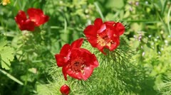 Red peony angustifolia flowers on the wind Stock Footage