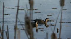 Gadwalls, ducks Stock Footage