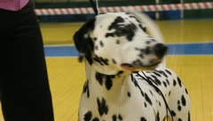 Dalmatian dog close-up Stock Footage