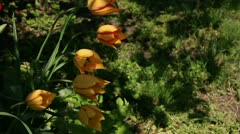 Yellow tulips with red border flower leafs Stock Footage