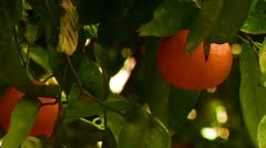 Closeup of oranges on a orange tree food production fresh immigration reform Stock Footage