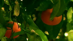 Close up of oranges orange tree farming fruit fresh food farm agriculture grow Stock Footage