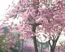 Blossom CU - stock footage