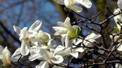 Blossoming magnolia Stock Footage