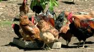 Flock of Chicken Stock Footage