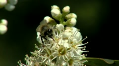 Bee Close-Up Stock Footage