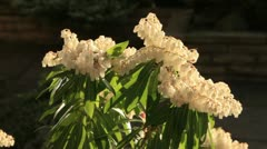 Pieris flowers Stock Footage