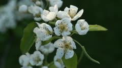 Blossom on Pear tree Stock Footage