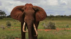 Wild Male African Elephant Stock Footage