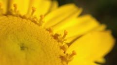 Yellow daisy flower closeup Stock Footage