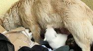 Stray dog pups breast feeding Stock Footage