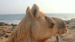 Camel at the Beach in Karachi, Pakistan - stock footage