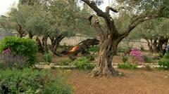 Olive garden in  gethsemane Stock Footage