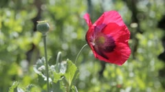Opium Poppies growing in a backyard 2 Stock Footage