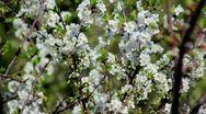 Flowering tree Stock Footage
