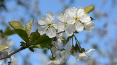 Cherry-tree blossoming. Stock Footage