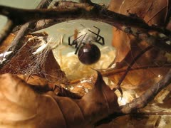 Black Widow Constructing Egg Sac - stock footage