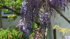 Lianas purple flowers in the home garden Stock Footage