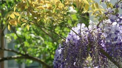 Lianas fresh leafs and bunch purple flowers on the wind Stock Footage