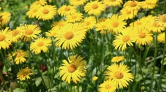 Yellow camomiles on the sunny meadow Stock Footage