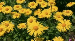 Yellow camomiles Stock Footage