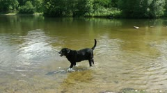 Black dog in water - stock footage