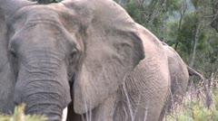 Elephants 32 Stock Footage