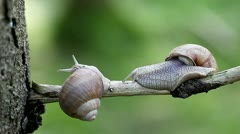 Snails-Helix pomatia Stock Footage
