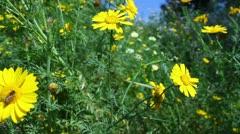 Flowers 21 Bee Goldfields Stock Footage