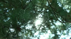 Tree Sunlight 19 Focus In Out Pine Trees Stock Footage