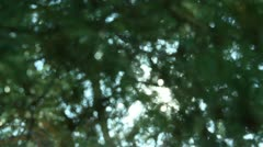 Tree Sunlight 20 Focus In Out Pine Trees Stock Footage
