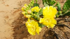 Cactus Prickly Pear Stock Footage