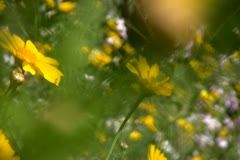 Flowers 12 Dolly L Goldfields SD wide Stock Footage