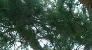 Tree Sunlight 09 Dolly R Pine Trees SD wide Stock Footage