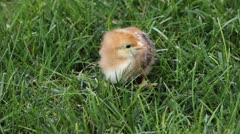 Baby chick on grass P HD 9986 Stock Footage