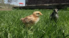 Baby chickens walk on grass P HD 0021 - stock footage