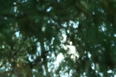 Tree Sunlight 20 Focus In Out Pine Trees SD wide Stock Footage