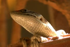 Alligator Lizard 17 SD wide Stock Footage