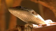 Stock Video Footage of Alligator Lizard 17 SD wide