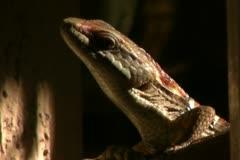Alligator Lizard 19 SD wide Stock Footage