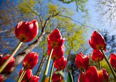 red tulips 2 - stock photo