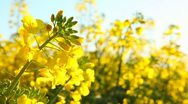 Stock Video Footage of Rape seed flowering